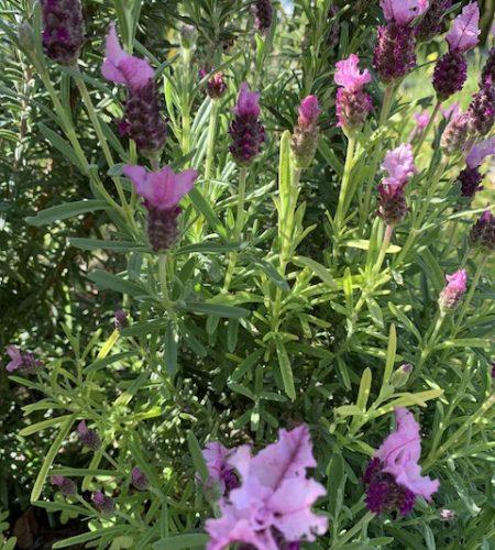 Blossum purple