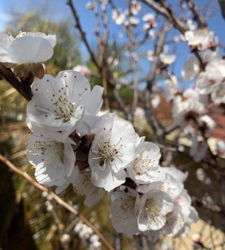 Blossum white 1